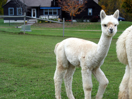 alpaca_cria_Lightfoot_farm's_Valerie October 2004